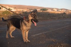 Watcher (Rushay) Tags: 50mm african alsatian animal canine dog ears germanshepherd leash nikond810 paws pet portelizabeth pup puppy southafrica southafrican tongue
