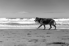Without ball (frank.gronau) Tags: frank gronau sony alpha 7 schwarz eis black white bw dog hund strand beach wasser meer ozean