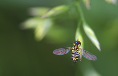 (amy20079) Tags: nikond5100 newengland insect bug hoverfly depthoffield maine plants summer macro