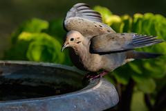 Mourning Dove (halladaybill) Tags: mourningdove coronadelmar backyard orangecounty california nikond500 nikkor200500zoom