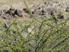 P1150130 Zimbabwe (72) (archaeologist_d) Tags: zimbabwe stanleylivingstonesafarilodge lilacbreastedroller birdwatching africa southernafrica safari