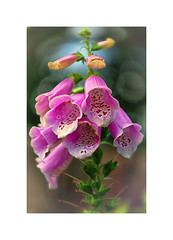 Foxglove (Missy Jussy) Tags: foxglove flowers mygarden garden rochdale newhey seasonal blossom petals bokeh sunlight plant plants bloom canon canon5dmarkll 100mm canon100mm macro flora fauna