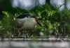 Black-crowned Night-Heron / Bihoreau gris (www.andrebherer.com) Tags: bird birds oiseau oiseaux nature wildlife heron blackcrownednightheron bihoreaugris americanpike brochet damerique fisjhing quebec canada andrebherer outaouais
