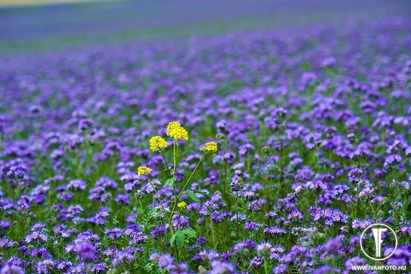 170620_005_purple_flower