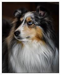 Justin (GAPHIKER) Tags: dog sheltie shetlandsheepdog shetland sheepdog herding patches portrait justin syracuse newyork