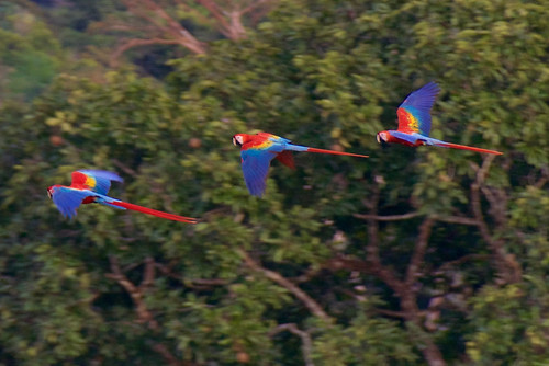 brazil-amazon-cristalino-lodge-scarlet-macaw-flying-past-copyright-thomas-power-pura-aventura