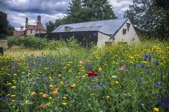 A field of flowers (ChrisKirbyCapturePhotography) Tags: meadow fieldofflowers englishcountryside wildflowers chriskirbycapturephotography