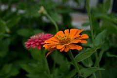 Zinnia (Leandro.C) Tags: fiore colore zinnia leandroceruti giardino