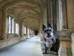 Seamus in the cloisters (Steph-nine) Tags: seamus dog terrier elveden suffolk cloisters church