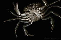 Voyage to the Bottom of the Sea (EXPLORED) (SkyeWeasel) Tags: macromondays bottomsup macro crab shorecrab carcinusmaenas underside blackbackground crustacean claws exoskeleton carapace arthropod segments