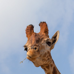 World Giraffe Day (Geraint Rowland Photography) Tags: worldgiraffeday giraffe animal animals wwf nature bluesky squareformat geraintrowlandphotography chewing animalportraits animalgestures pets cute wwwgeraintrowlandcouk canon love