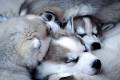 Baby pack (Saana Londono Photographie) Tags: animals animaux animal amazing arctic magnifique magic mammal nature noir ngc canon colors couleurs cute close camera beautiful black beauty husky wild wildlife white water eos expo eye exposition sauvage superb simply suisse swiss photography photographie photoshoots park parc portait reflex dog snow winter