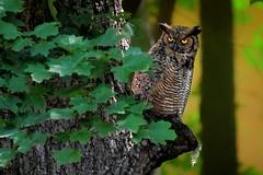 Where Feathers Fall (Goromo) Tags: greathornedowl owl woods lateafternoonsun feather tree birdofprey