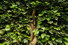 Ivy (Darren LoPrinzi) Tags: 5d canon miii canon5d ivy princeton nj newjersey princetonuniversity ivyleague nature closeup leaves bark branch branches green greenery college university school campus