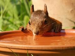 It's a very hot day... (libra1054) Tags: squirrel ardilla écureuil scoiattolo esquilo tiere animals animales animali animaux animais hot caldo caluroso quente chaude animalportraits nature natur natura outdoor