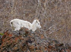 Dall Sheep Alaska (snooker2009) Tags: alaska dall dalls sheep nature wildlife white mountain