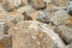 IMG_0226_228 Squirrel HDR (vicjuan) Tags: 20170625 美國 usa 加州 california montereycounty hdr tonemapping pebblebeach geotagged geo:lat=36591925 geo:lon=121964157 松鼠 squirrel