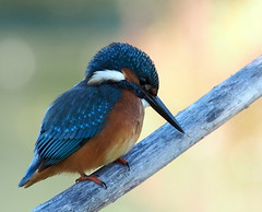 Kingfisher... (quarzonero ...Aldo A...) Tags: kingfisher alcedoatthis martinpescatore bird nature natura coth coth5