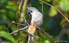 Titmouse in a Tree (Sage Girl Photography) Tags: tuftedtitmouse bird animal wild backyard branch nature outdoors wilmington northcarolina vines sagegirl nikond3300 pse zoom crop closeup