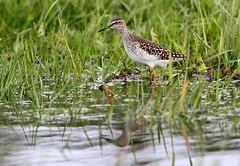 Piro piro boschereccio (silvano fabris) Tags: photonature nature birdwach wildlife animali animals birds uccelli