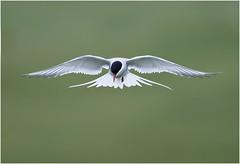 Arctic Tern (Antony Ward) Tags: terns shetlandbirds shetland birdsinflight bird
