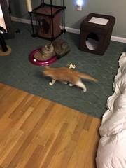 iPhone 3966 (mary2678) Tags: tewksbury massachusetts ma kitty kitten cat maine coon chele kvothe
