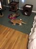 iPhone 3967 (mary2678) Tags: tewksbury massachusetts ma kitty kitten cat maine coon chele kvothe