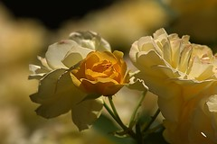 June Bloom (swong95765) Tags: yellow mellow flowers roses bokeh beauty beautiful pretty floral fragrant