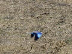 P1150130 Zimbabwe (65) (archaeologist_d) Tags: zimbabwe stanleylivingstonesafarilodge lilacbreastedroller birdwatching africa southernafrica safari