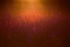 summertime ... (Sandra Bartocha) Tags: sandrabartocha lys fireweed summer summertime sweden scandinavia