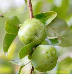 Caqui, Kaki, Japanese Persimmon,  not yet ripe, Brazil (ssspnnn) Tags: diospyroskaki ebenaceae caqui kaki caquizeiro palosanto canon70d brazil nunes snunes spnunes spereiranunes fruit fruta hachiya