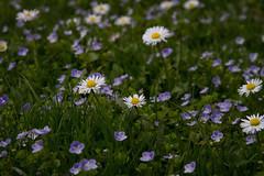 Daisies (3149) (cfalguiere) Tags: grass bokeh summer datepub2017q307 lot07 daisies dof profondeurdechamp munich gazon herbe loan ete marguerites sel20170716 sel20170722