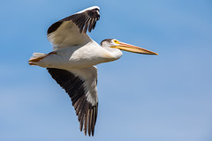 Pelican Flight (jeff_a_goldberg) Tags: americanwhitepelican wildlife nature bird birdinflight bif wisconsin pelecanuserythrorhynchos manitowocharbor lakemichigan manitowoc unitedstates us