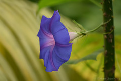 Blue Flower (Bri_J) Tags: tropicalbutterflyhouse northanston sheffield southyorkshire uk yorkshire nikon d7200 blueflower blue flower