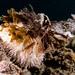 Pseudoboletia indiana urchin