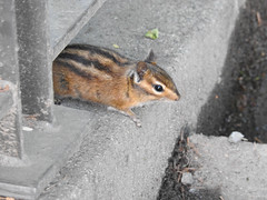 Snoqualmie Chipmunk (MissLydia) Tags: summer snoqualmiefalls wastate twinpeaks snoqualmie july nature 2017 theowlsarenotwhattheyseem staycation waterfall
