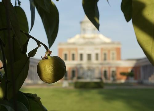 Potsdam, Zitrone am Marmorpalais im Neuen Garten