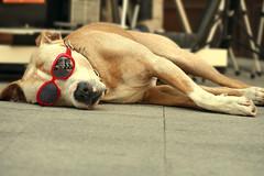 He just wants to chill ... (JB Fotofan) Tags: dog hund köpek tier animal istanbul kadiköy türkei turkey türkiye lumixfz1000 streetphotography street leicalens