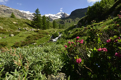 Flowery timberline and Monte Rosa (supersky77) Tags: monterosa lys valle valley rhododendron ferrugineum rododendro alpi alps alpes alpen aosta valledaosta vallèedaoste gressoney glacier ghiacciaio