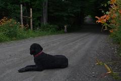 Traffic, southern Vermont. (koperajoe) Tags: cyclotourisme doginroad daylillies randonneur roadslikethese dog canine gravelroad cyclotouring velo