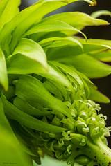 Eucomis-bicolor.flickr (aafbk) Tags: bloem flower tuin garden macro eucomis ananasplant kuiflelie bollen zomerbollen bulbs summerbulbs zomer summer