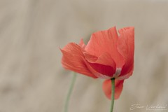 Poppy (Jaco Verheul) Tags: poppy poppies nikon d7100 macro landscpae flower jaco verheul red beige outdoor