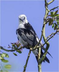 Swallowtail Kite ( With Attitude ) (billkominsky ) Tags: he love pose naturethroughthelens ngc coth5