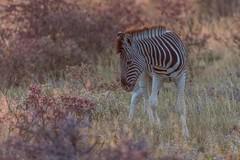 Zebra Foal (gecko47) Tags: zebra horse equine foal commonzebra burchellszebra plainszebra equusburchelli namibia etoshanationalpark sunset