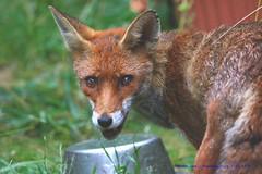 Hungry Like The Fox....... (law_keven) Tags: fox vixen catford london england uk gardens backgardens mammals photography wildlifephotography wildlife urbanfox foxes feedingtime