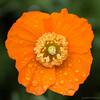 Rainy poppy (kimbenson45) Tags: closeup colorful colourful differentialfocus flower green macro nature orange outdoors petals plant poppy raindrops rainy shallowdepthoffield waterdrops wet