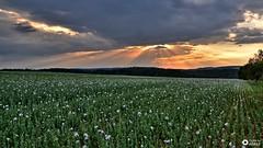 twilight of poppies (aldonaszczepaniak) Tags: landscape poppy sunset twilight