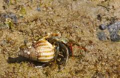 Hermit crab (Iñaki San Pedro) Tags: españa spain laredo canon markiii eos macro animal ermitaño hermitcrab crab hermit