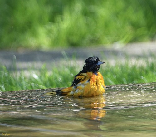 "One Wet Baltimore Oriole (male) • <a style=""font-size:0.8em;"" href=""http://www.flickr.com/photos/52364684@N03/35746052815/"" target=""_blank"">View on Flickr</a>"