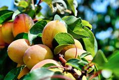 Apricots, fruit